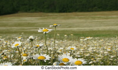 In a chamomile field