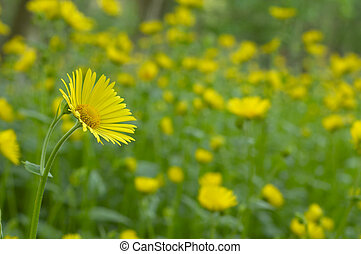 In a field of yellow flowers