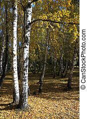 In a gold birch grove. Autumn landscape