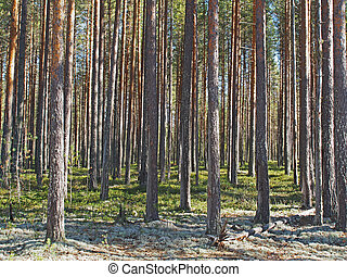 in a pine forest