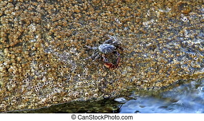 In a rock  crab  eating