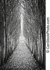 In a row poplar trees