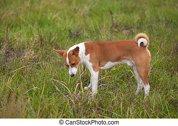 Basenji dog - troop leader standing in the wild autumnal grass and thinking where to run while hunting for local rodents