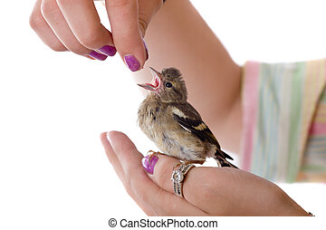 In caring hands - Feeding of a baby bird chaffinch from...