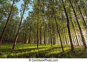 in, der, früher morgen, von, der, wälder