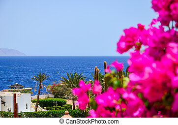 In Egypt, in the hot summer blooms a beautiful flower bougainvillea.
