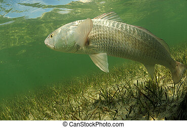 redfish is swimming in the grass flats ocean - In its...