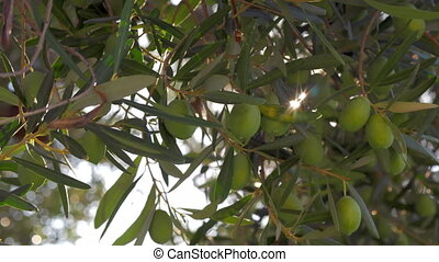 In Mediaterranean garden. Green olive tree and sunbeam -...