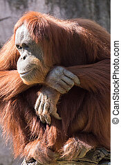 In Repose - Adult Orangutan sitting in relaxed contemplation...