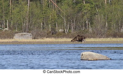 Elk male eats grass in the river - In spring moose eat young...