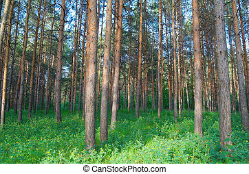 In summer forest with pines