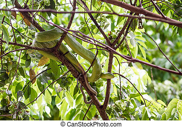 Red-tailed Green Ratsnake