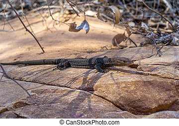 in the Australian outback, a medium-sized lizard lies on a rock and suns itself