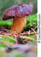 boletus mushroom in moss