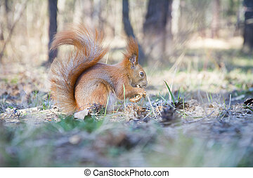 In the autumn in the forest on a sunny day, a squirrel eats in the forest.