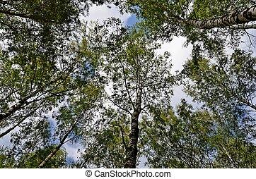 In the birch grove