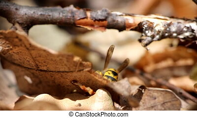 In fall wasps become carnivorous. Wasp eats victim