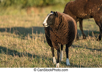 brown sheep in the meadow