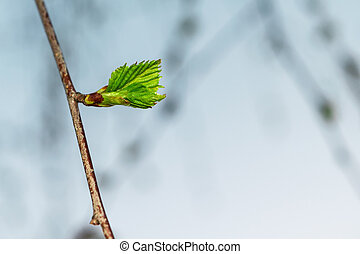 In the foreground blossoming tree branch with Bud in young leaf.