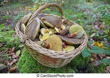 in the forest a basket of mushrooms,boletus mushrooms in a basket in the woods on the moss