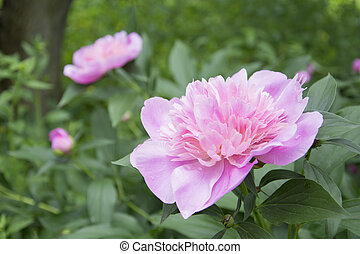 In the garden are blooming peonies.