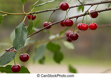 in the garden ripe cherryripe red cherry on a tree