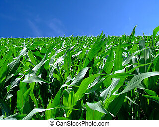 In the middle corn - In the middle of green corn field