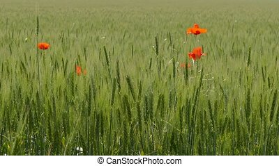 In the middle of a wheat field several red flowers have...