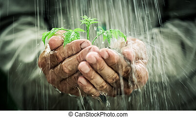 In the rain - Old man`s hands holding young plant in the ...