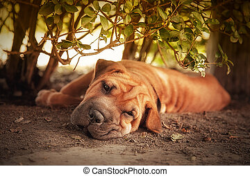In the shade - Out of the sun, a Shar pei tries to rest in...