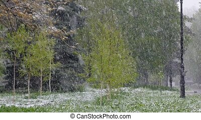 In the spring, snow is falling on the green trees.