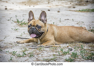 In the summer afternoon in the park, a French bulldog lies on the ground.