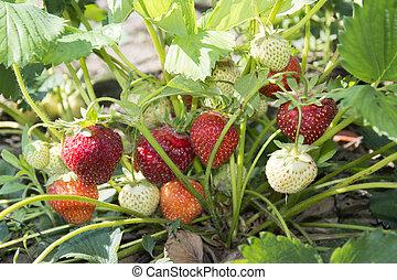 In the summer in the garden growing strawberries.