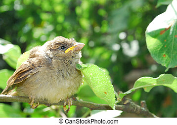 In the summer, in the garden, sitting on a branch of a small nestling sparrow sings