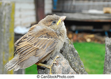 in the garden, sitting on a branch of a small nestling sparrow