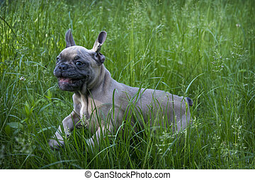 In the summer, on the grass streets, a small puppy of the French Bulldog breed.