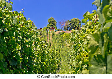 In the vineyard green hill
