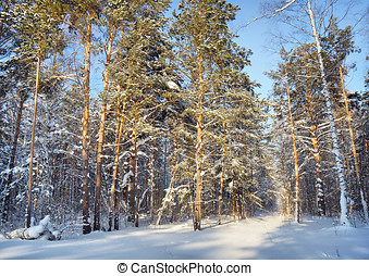 In the winter pine forest
