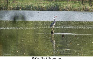 Herons - in Wildlife a Herons
