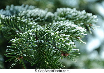 In winter, the branch of spruce is covered with hoarfrost