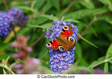 Inachis io sitting on a blue flower