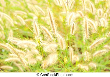incandescent, herbe, marram
