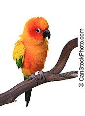 inchado, conure sol, papagaio, pássaro