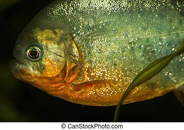 inchado, peixe, tanque, vermelho,  piranha