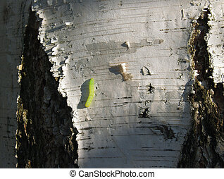 Inchworm on Paper Birch