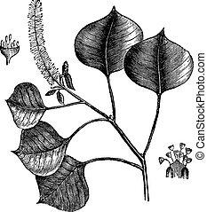 incisione, cinese, sapium, albero, sebifera, vendemmia, sego, o