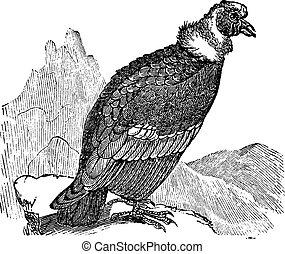 incisione, condor andino, gryphus, vendemmia, vultur, o