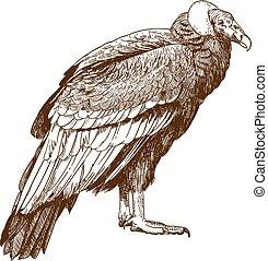 incisione, condor, disegno, illustrazione