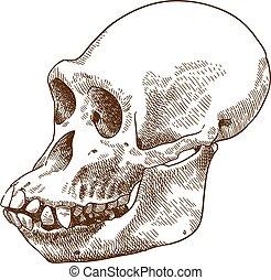 incisione, cranio, illustrazione, disegno, antropoide, scimmia