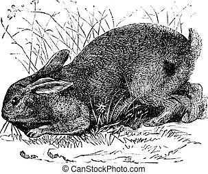 incisione, cuniculus), vendemmia, comune, coniglio, (lepus,...